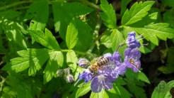 Bees love purple phacelia