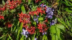 Fire pinks and dwarf iris