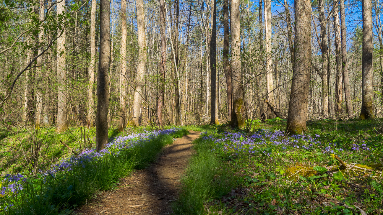 The first quarter mile on the manway is an easy stroll through a lovely forest. You can sense that something special is about to happen as you begin to notice the blue phlox lining the pathway.