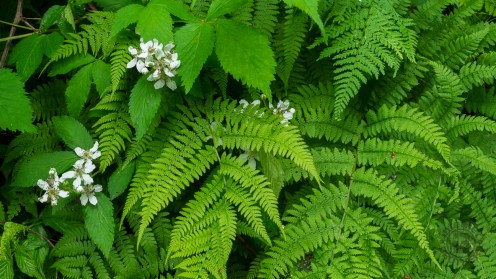 Blackberry blossoms and ferns