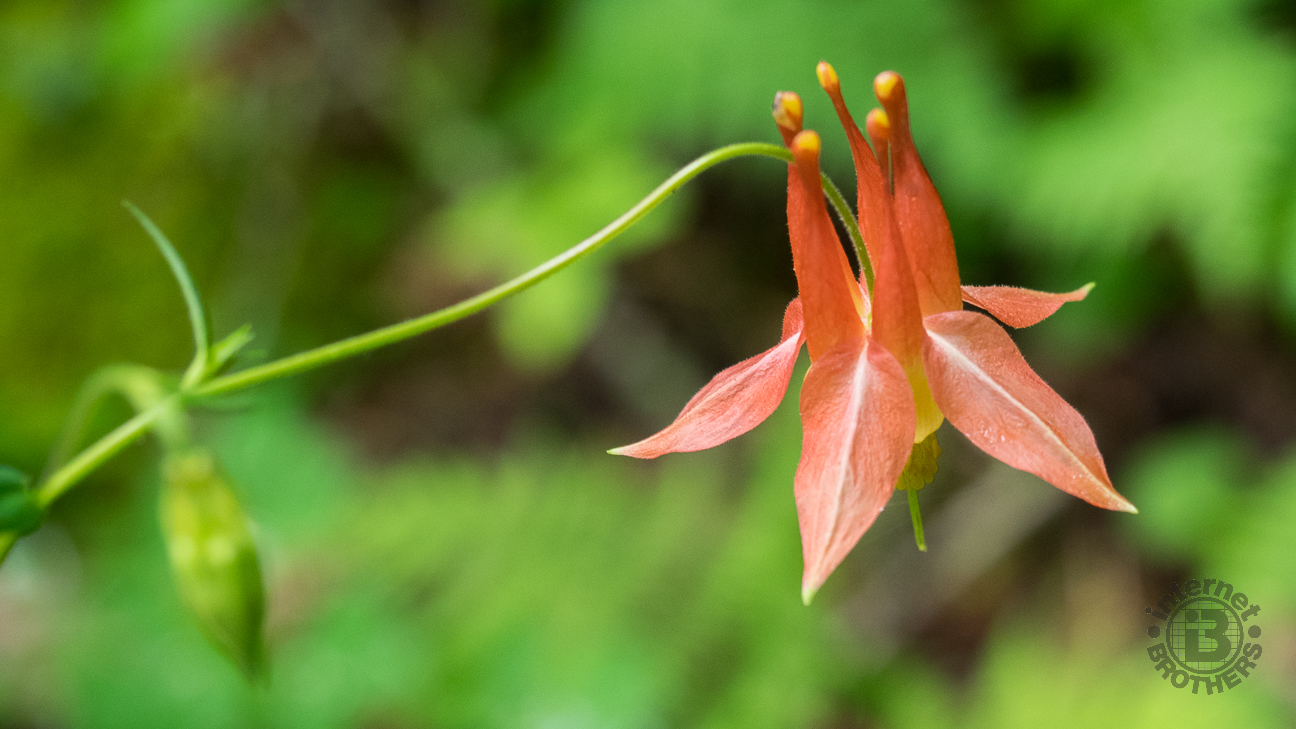The spurred flowers of the native columbine point upward, with 5 red petals. The underside has numerous yellow stamens.
