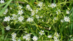 Patch of chickweed