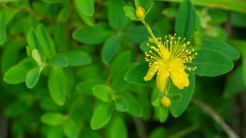 St. John's Wort blossom