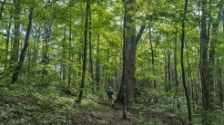 One of many large oaks