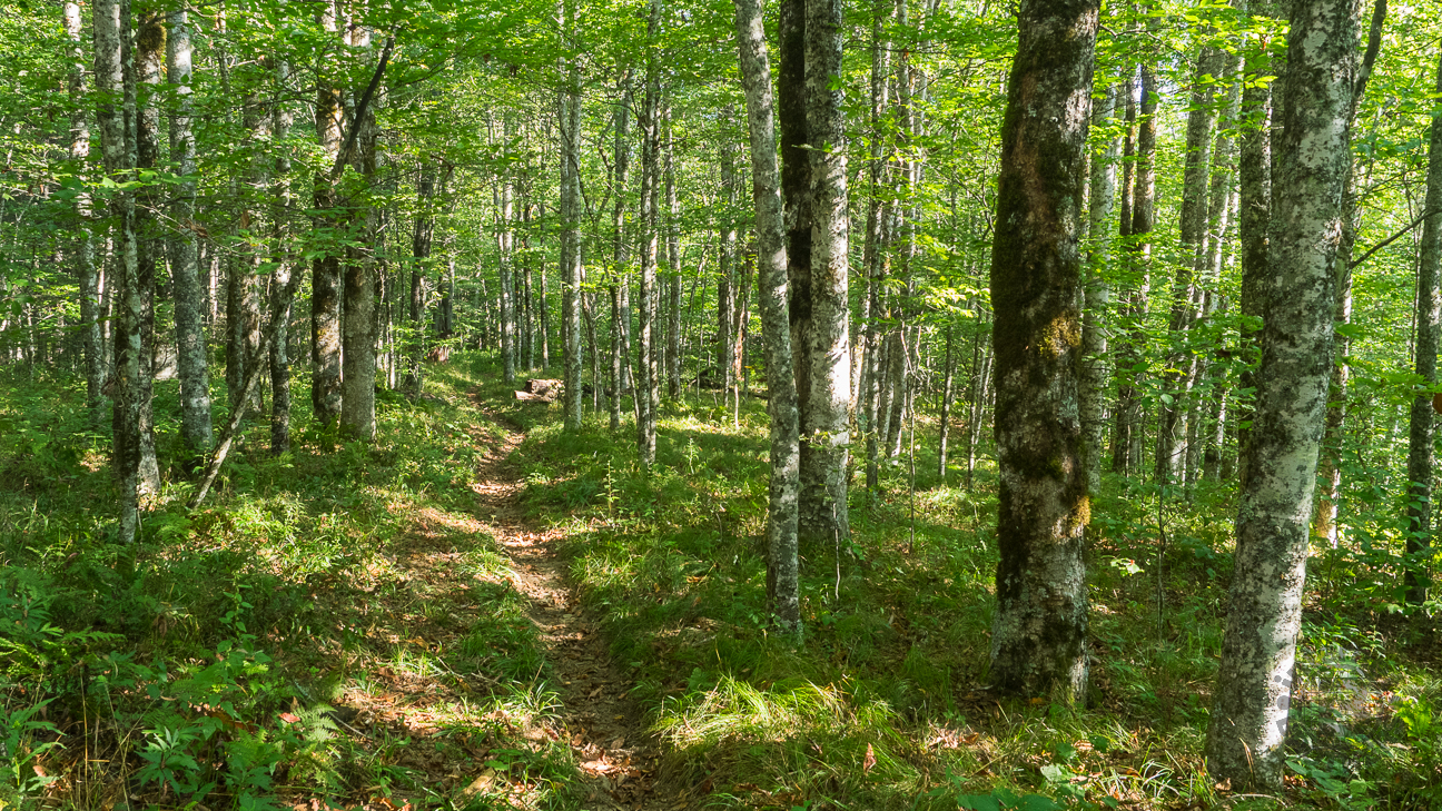 Birch trees line the lower portions of Balsam Mountain Trail.