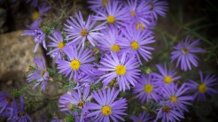 Blue aster in the grassland