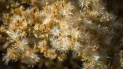 Pasqueflower seed phase