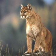 What to do if you encounter a mountain lion while hiking