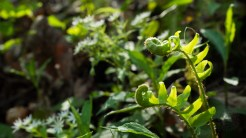 Fiddlehead Ferns and Chickweed