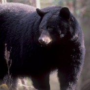 Smokies Park Reminds Visitors to be Bear Aware