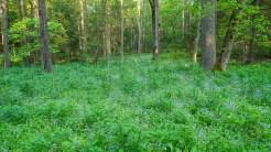 Phacelia woodland