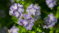 Purple fringed phacelia