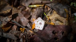 Fallen mountain laurel blossom