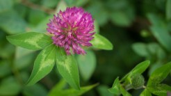 Simple red clover