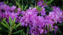 Famous catawba rhododendron