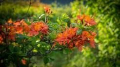 Multi-color azalea