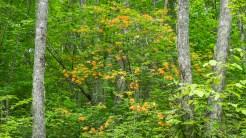 Flame azalea tree