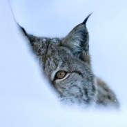 Living  with Lynx in Scotland