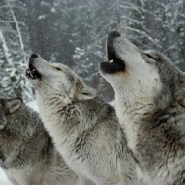 Rural communities can coexist with wolves. Here's how.