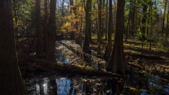 Cypress trees in a slough