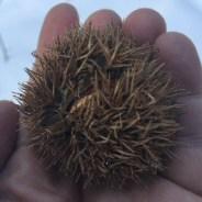 Rare chestnut find: 'This tree, it's a survivor'