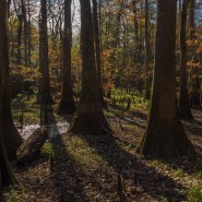 Sentinels of the Swamp: Cypress and Tupelo Trees