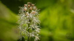 Foamflower