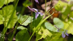 Long spurred violet