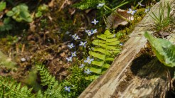 Bluets and ferns
