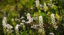 Foamflowers and fleabane