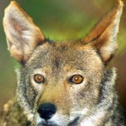 Red wolf status grim, review says
