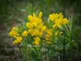 Prairie goldenpea