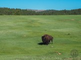 Urinating bison and surprised prairie dog
