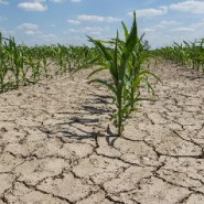 The global corn crop is vulnerable to the effects of climate change