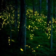 Smokies Park Announces 2019 Synchronous Firefly Viewing Dates
