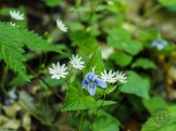 Spurred violet and chickweed