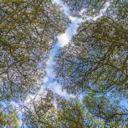 What is tree crown shyness?