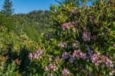 Mountain laurel bush