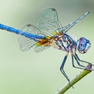 Dragonflies reveal mercury pollution levels across US national parks
