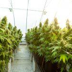 Internet-Bull-Report-Cannabis-Mushrooms