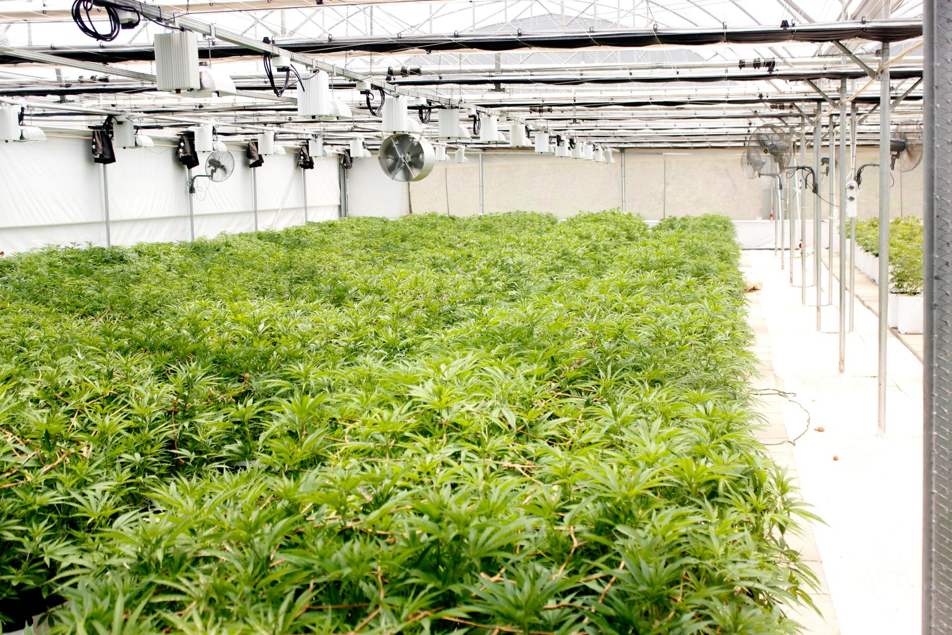 cannabis-wuhan-general-group-$wuhn-m2bio-sciences-willem-jonker-coo-interet-bull-report