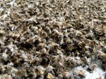 Létünket fenyegeti a méhek kipusztulása 🐝