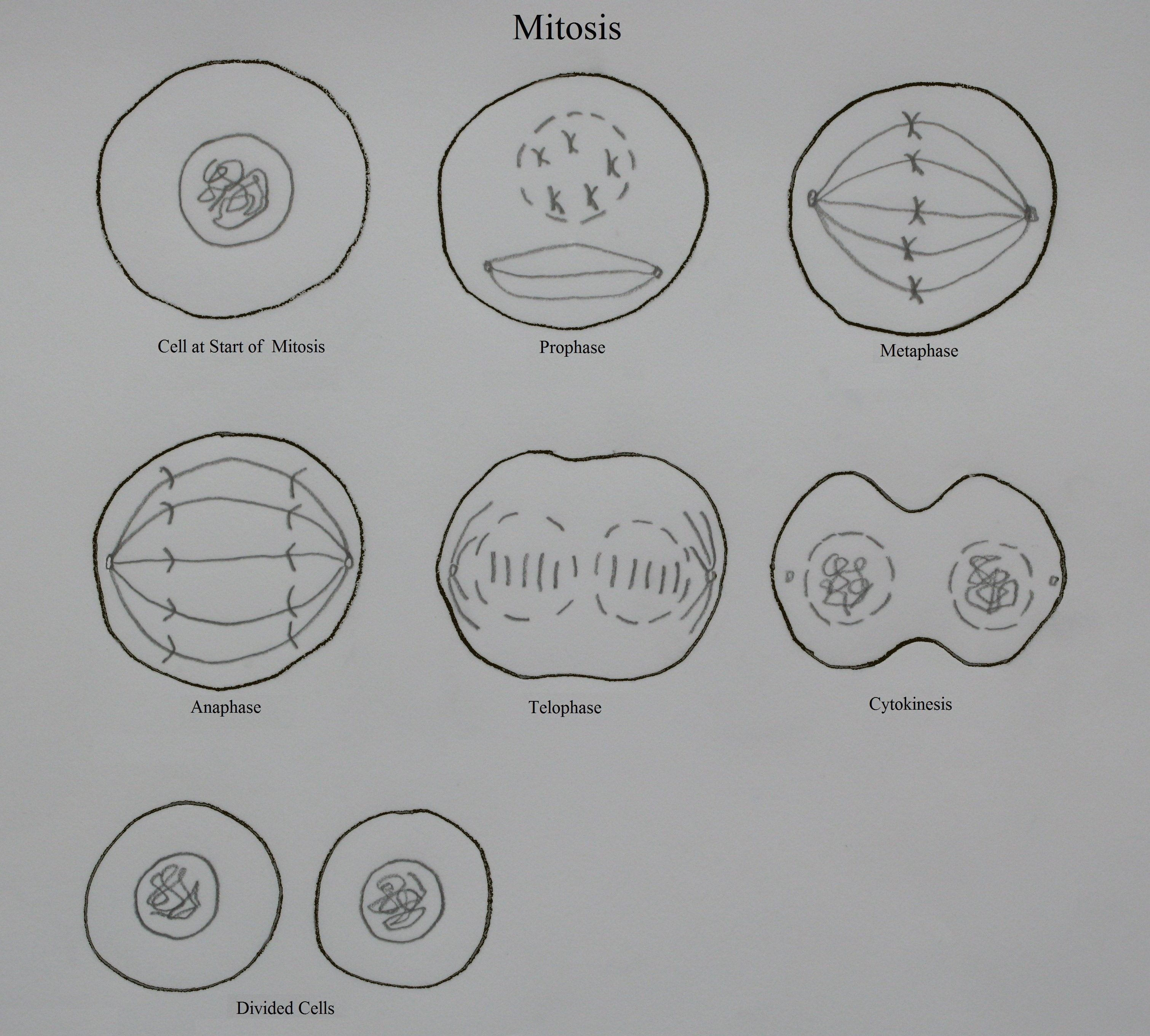 Worksheet Onion Cell Mitosis Worksheet Answers Grass