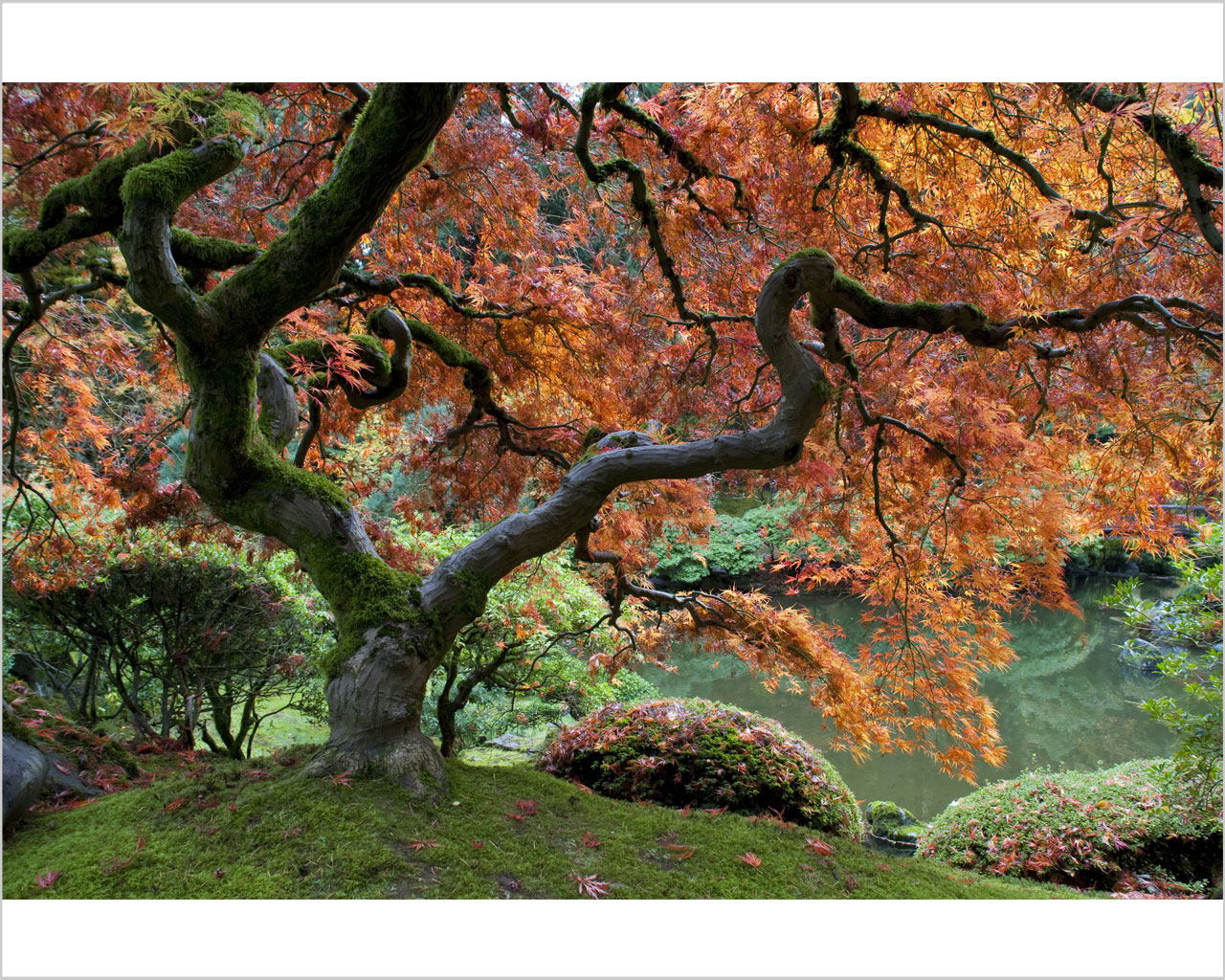 Acero Blu Giapponese acero giapponese - natura - stampa su tela