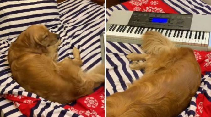 PERRO TOCA EL PIANO CON SU COLA