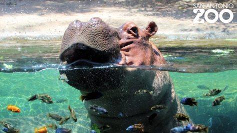 EL ZOOLÓGICO DE SAN ANTONIO PERMITIRÁ QUE LAS PERSONAS VISITEN A LOS ANIMALES EN SUS CARROS.