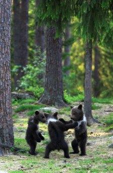dancing-baby-bears-cubs-photography-valtteri-mulkahainen-1-10-5e46a20765507__700-1
