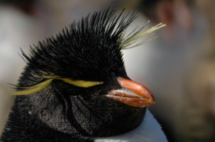 Antártida - Pinguim Saltador de Rocha