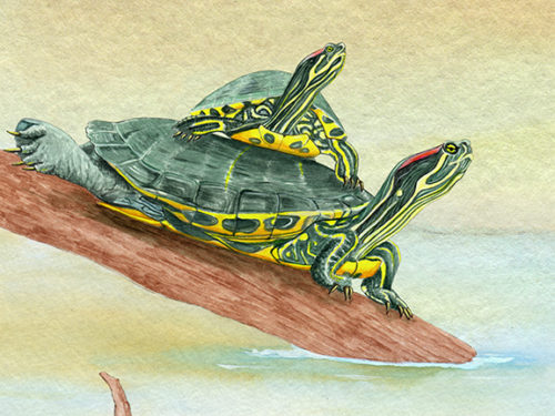 Red Slider Turtles watercolor with one on too of the other
