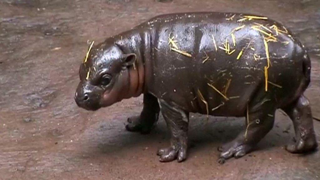 95208107 p04x4zpc - Baby pygmy hippo in debut splash
